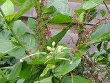 Dodder (Cuscuta lupuliformis)_