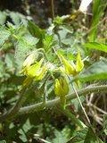 Currant Tomato (Solanum pimpinellifolium)_