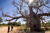 Australian Baobab (Adansonia gregorii)_