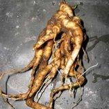 Mandrake (Mandragora officinarum)_