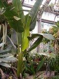 South American Travellers Palm (Phenakospermum guyannense)_