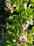 Corkscrew Vine (Cochliasanthus caracalla)_