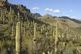 Saguaro (Carnegiea gigantea)_