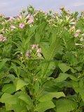 Tabacco (Nicotiana tabacum)_