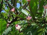 Frangipani (Plumeria rubra)_