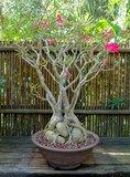 Desert Rose (Adenium obesum)_
