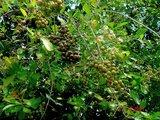 Henna (Lawsonia inermis)_