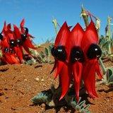 Sturt's Desert Pea (Swainsona formosa)_