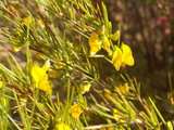 Rooibos (Aspalathus linearis)_