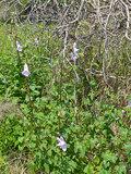 South African Foxglove (Ceratotheca triloba)_
