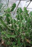 Cow's Horn Euphorbia (Euphorbia grandicornis)_