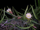 Yellow pitahaya (Hylocereus megalanthus)_
