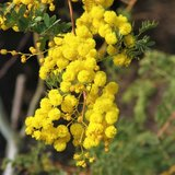Mudgee acacia (Acacia spectabilis)_