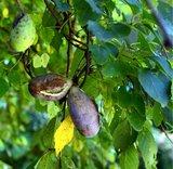 Threeleaf Akebia (Akebia trifoliata)_