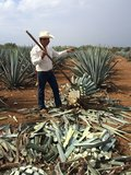 Tequila Agave (Agave tequilana)_