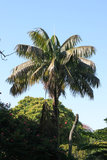 Kentia Palm (Howea forsteriana)_
