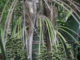 Kentia Palm (Howea forsteriana)_