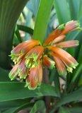 Swamp Clivia (Clivia robusta)_