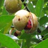 Nutmeg (Myristica fragrans)_