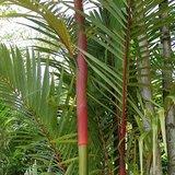 Lipstick Palm (Cyrtostachys renda)_