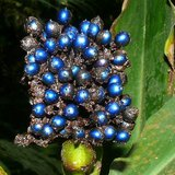 Marble Berry (Pollia condensata)_