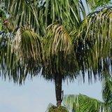 Patawa (Oenocarpus bataua)_