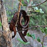 Carob Tree (Ceratonia siliqua)_