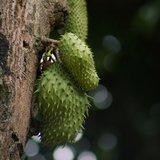 Soursop (Annona muricata)_
