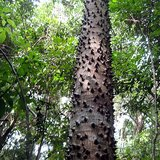 Sandbox Tree (Hura crepitans)_