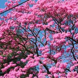 Pink Ipê (Handroanthus impetiginosus)_