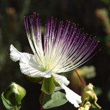 Caper Bush (Capparis spinosa)_