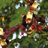 Red Lucky Seed (Adenanthera pavonina)_