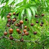 Soapberry (Sapindus saponaria)_