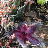 Carrion Flower (Stapelia hirsuta)_