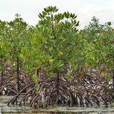 Red Mangrove (Rhizophora mangle)_