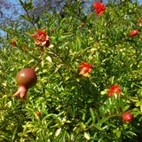 Dwarf Pomegranate (Punica granatum 'nana')_