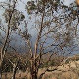 Morrisby's Gum (Eucalyptus morrisbyi)_