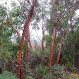 Tasmanian Snow Gum (Eucalyptus coccifera)_
