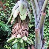 Snow Banana (Ensete glaucum)_