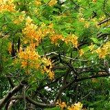 Yellow Flamboyant (Delonix regia var. flavida)_