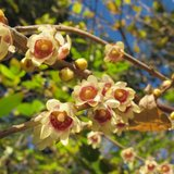 Wintersweet (Chimonanthus praecox)_