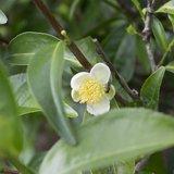 Tea Plant (Camellia sinensis)_