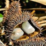 Gray Nickernut (Caesalpinia bonduc)_
