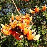 Flame of the Forest (Butea monosperma)_