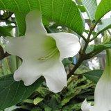 Nepal Trumpet Flower (Beaumontia grandiflora)_