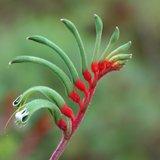 Red-green Kangaroo Paw (Anigozanthos manglesii)_