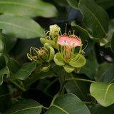 Pod Mahogany (Afzelia quanzensis)_