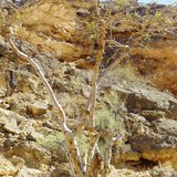 Frankincense Tree (Boswellia sacra)_