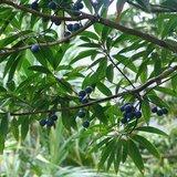 Rudraksha (Elaeocarpus ganitrus)_
