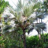 Blue Latan Palm (Latania loddigesii)_